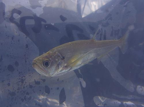 熱帯魚・ベルツノガエルオタマジャクシ入荷しました。