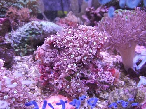 サンゴ・海水魚・日本淡水魚入荷