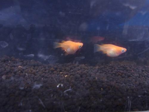 メダカ入荷・熱帯魚もすこし入荷