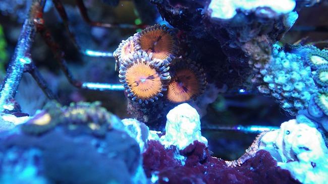 厳選サンゴ 「やいま」マメスナ・ボタン大量入荷 レインボーコモン入荷