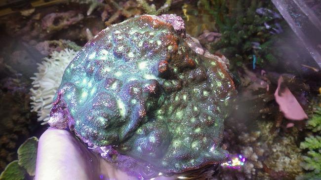 厳選サンゴ・USAマメまとまって入荷