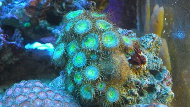 厳選サンゴ複数入荷です^^