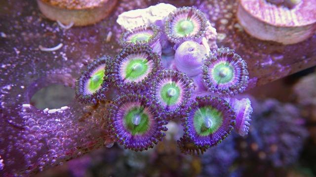 厳選サンゴ マメスナ各種入荷しています。