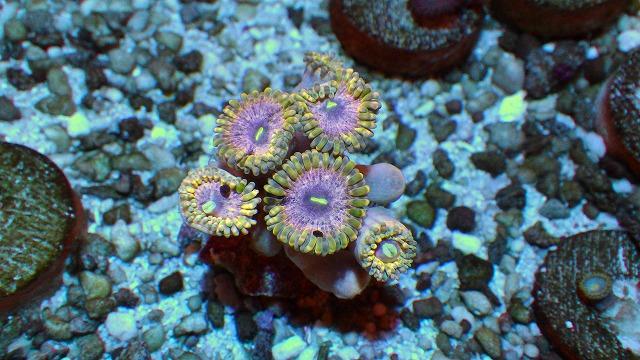 厳選サンゴ入荷 マメスナ・ハナガタ類 ヤバイ綺麗な来てます。