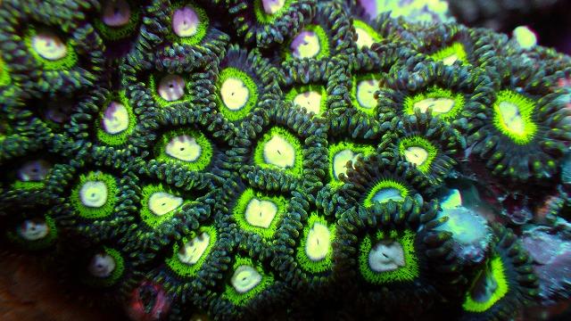 厳選サンゴ 大量入荷!!変わりマメスナ来ています。